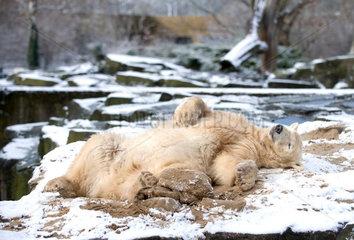 Eisbaer Knut im Schnee