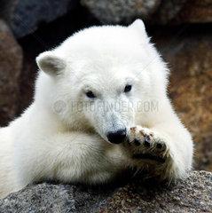 Eisbaer Knut - Alleine in der Eisbaerenanlage