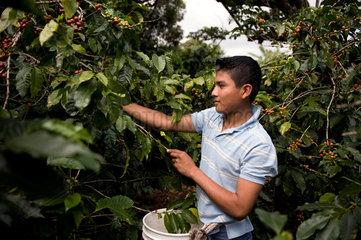 Coffee plantation  Boquete  Panama