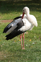 Weissstorch (Ciconia ciconia)