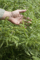 Man's hand touching fern