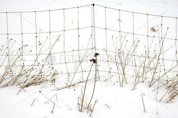Graeser im Schnee
