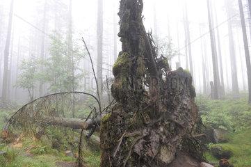 Wurzel eines umgest__rzten Baumes im Nationalpark Hochharz
