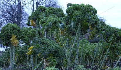 Gruenkohlsorte Ostfriesische Palme