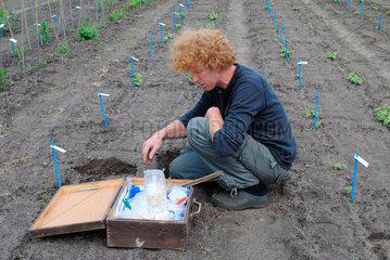 Bohnenpflanzung