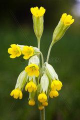 Echte Schluesselblume Primula veris