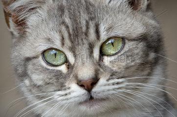 Wilde Hauskatze schaut in die Kamera