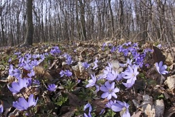 Auwald mit Leberbluemchen