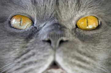 Nahaufnahme einer Britisch Kurzhaar Katze