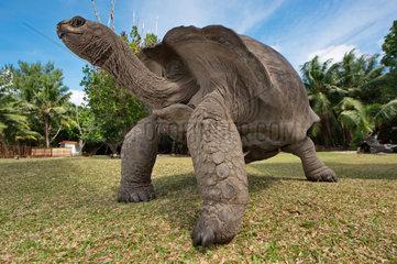 Aldabra giant tortoise  Dipsochelys dussumieri  reptile endemic to Seychelles