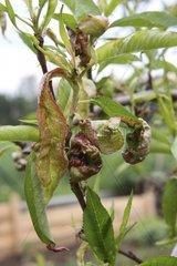Pfirsichbaum  Kraeuselkrankheit