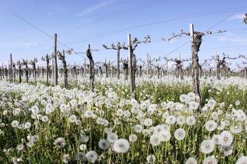Weingarten im Fruehling  verbluehter Loewenzahn