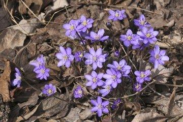 Leberbluemchen  hepatica nobilis