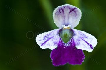 bastard balm Melittis melissophyllum