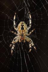 Kreuzspinne  Spinnennetz