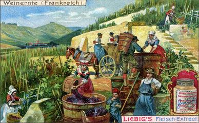 Weinernte  Frankreich  1900