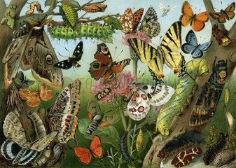 verschiedene Schmetterlingsarten  1900