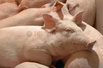 Schweine im Erlebnis-Bauernhof  Gruene Woche