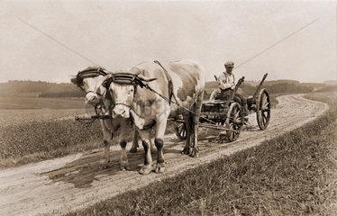 Ochsengespann  Landwirtschaft  um 1922