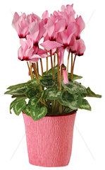 rosa Alpenveilchen im Blumentopf