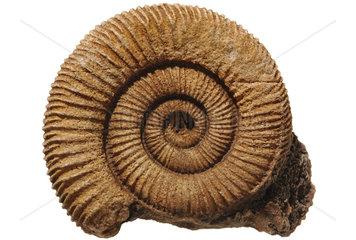 Ammonit Versteinerung