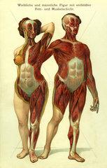Mann und Frau  anatmische Darstellung  1905