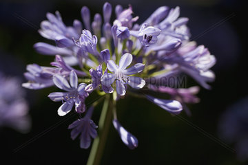 African lily (agapanthe)  close-up