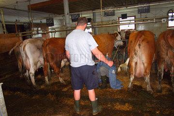 Tierarzt bei der Entnahme eines Kuhmilchprobe