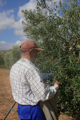 Olivenernte in Andalusien