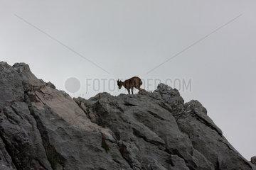 Bergziege