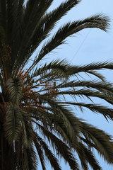 Dattel an eine Palme im Malaga