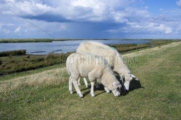 Schafe auf dem Deich bei Westermarkelsdorf  Insel Fehmarn  Ostsee  Kreis Ostholstein  Schleswig-Holstein  Deutschland  Europa
