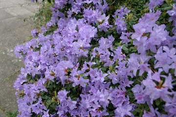 Rhododendron praecox Bluete.