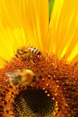 Bienen auf eine Sonnenblume bei der Arbeit