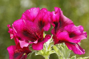 Pink Pelargonie