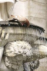 Taube trinkt am Brunnen
