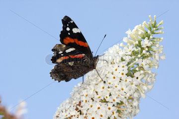 Admiral Schmetterling auf Schmetterlingsstrauch