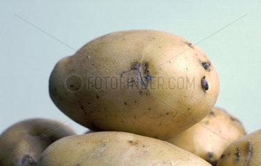 Kartoffel1