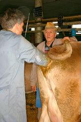 Villnoesstal - Tierarzt bei der kuenstliche Besamung eine Kuh in eine Suedtiroler Bauernhof