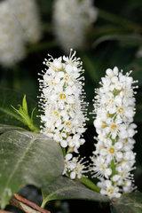 Prunus laurocerasus - Lorbeerkirsche