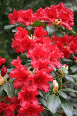 Rote farbenen Rhododendron