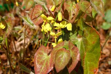 Epimedium grandiflorum- Elfenblume