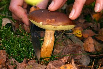 Haende eine Pilzsammlerin beim Schneiden eines Maronen Pilz