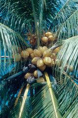 Kokosnuss1