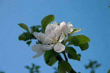 Bluehender Apfelbaum