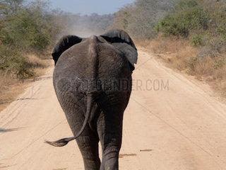 Elefant im Krueger Nationalpark