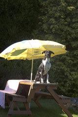Hund unterm Sonnenschirm