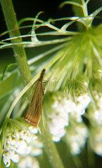 Motte zwischen Bluetendolden