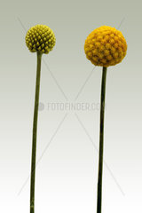 Flower of Billy buttons