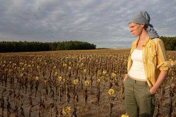 Feld mit vertrockneten Sonnenblumen